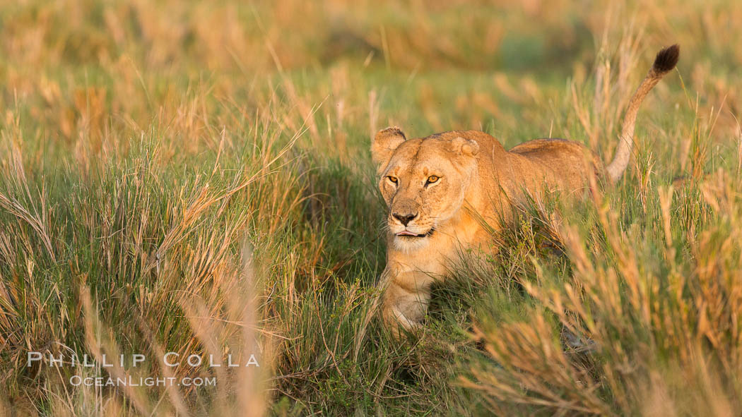 Lion female, Maasai Mara National Reserve, Kenya., Panthera leo, natural history stock photograph, photo id 29917