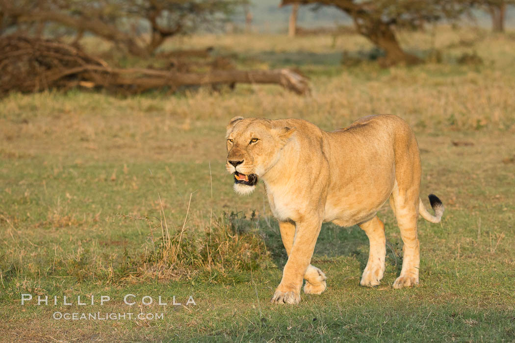 Lion, Olare Orok Conservancy, Kenya., Panthera leo, natural history stock photograph, photo id 30122