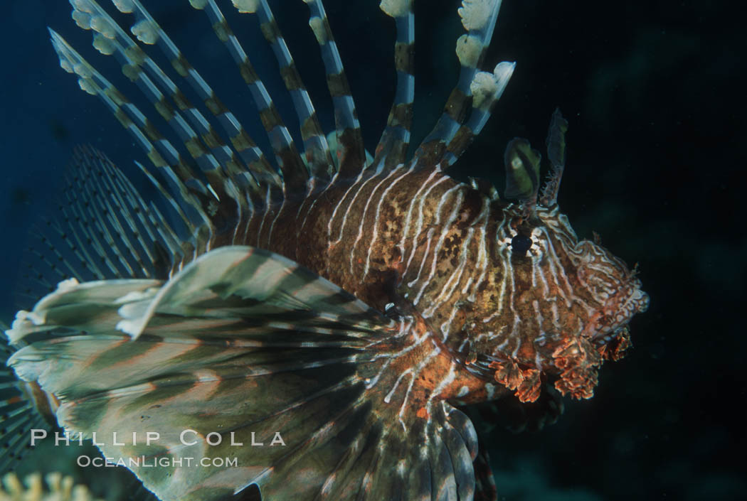 Lionfish. Egyptian Red Sea, Egypt, Pterois miles, natural history stock photograph, photo id 05240
