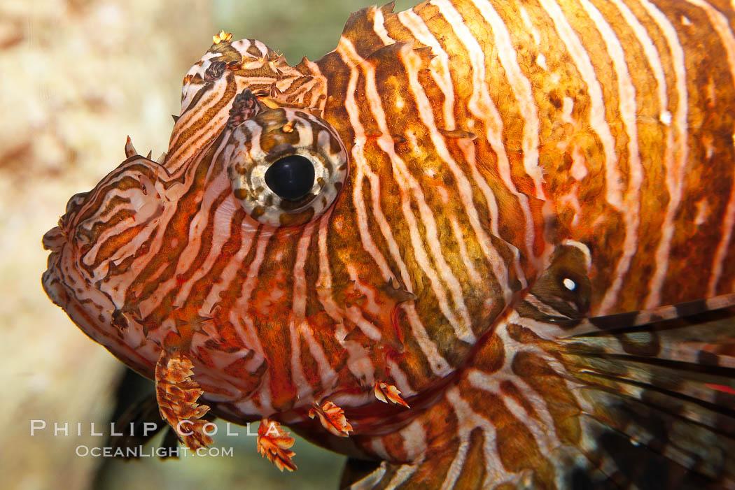 Lionfish., Pterois volitans, natural history stock photograph, photo id 12931