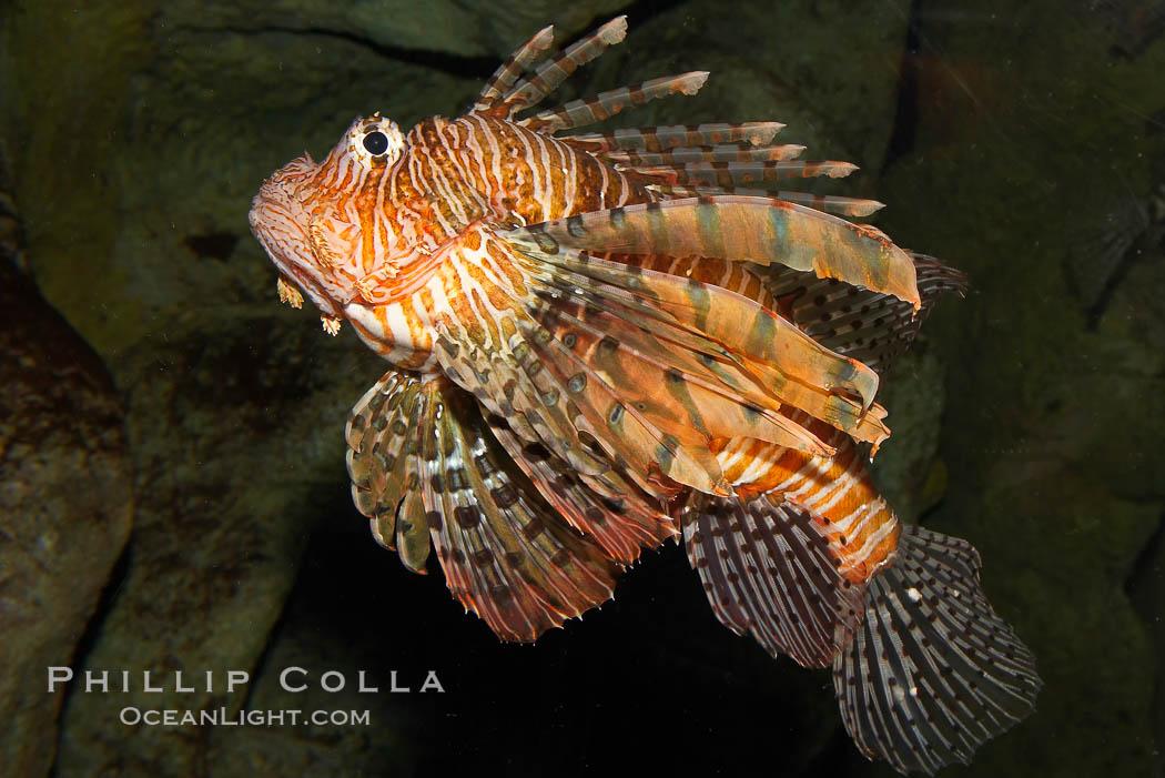 Lionfish., Pterois volitans, natural history stock photograph, photo id 12925