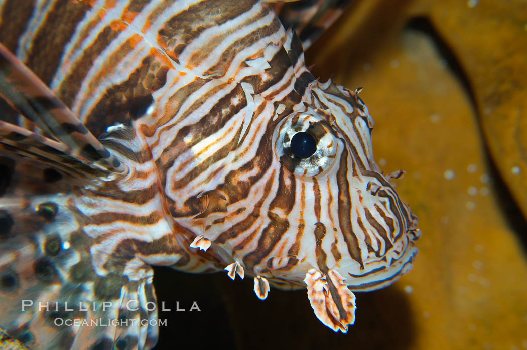 Lionfish., Pterois miles, natural history stock photograph, photo id 14700