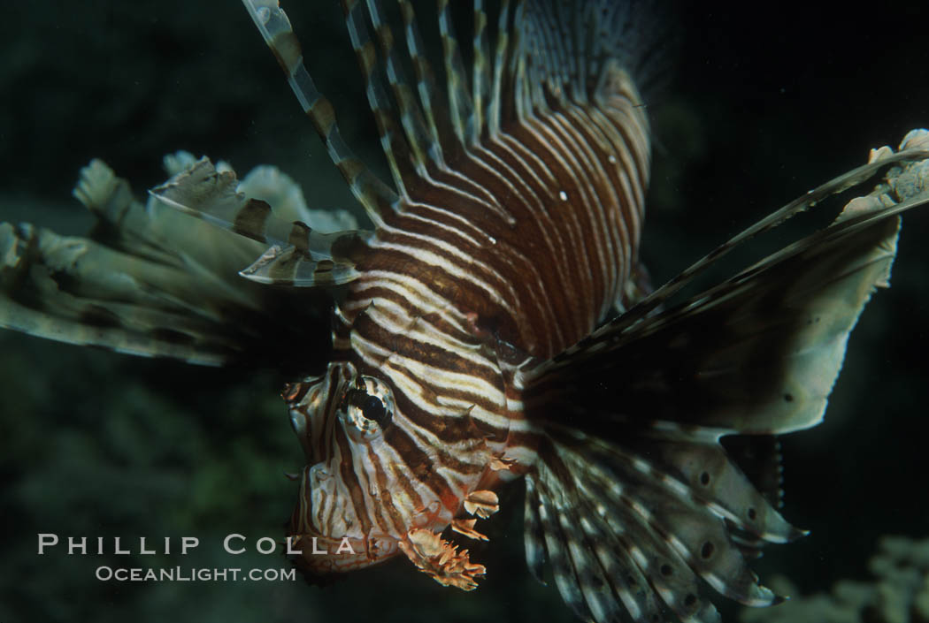Lionfish. Egyptian Red Sea, Egypt, Pterois miles, natural history stock photograph, photo id 05237
