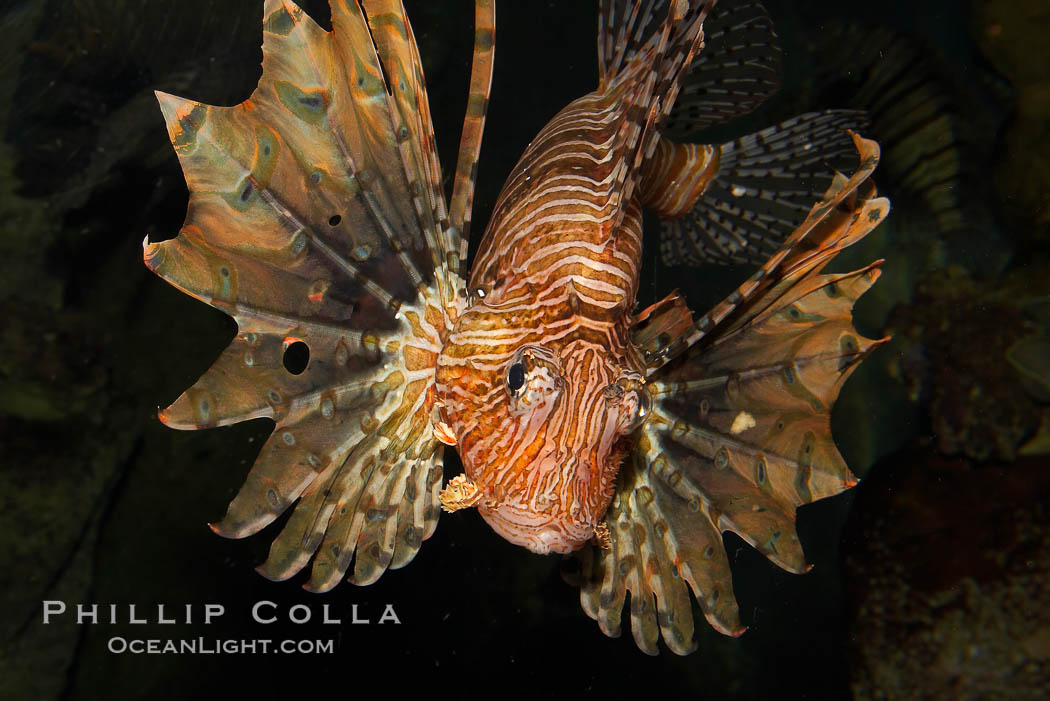 Lionfish., Pterois volitans, natural history stock photograph, photo id 12929