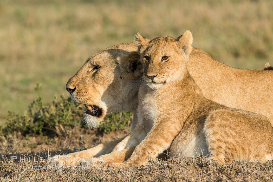Lionness and cub, Olare Orok Conservancy, Kenya., Panthera leo, natural history stock photograph, photo id 30135