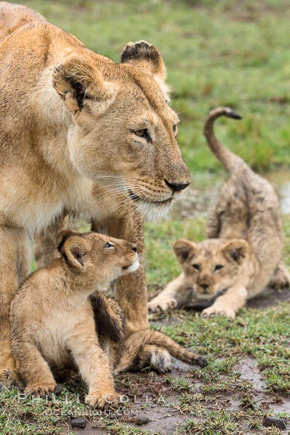 Lionness and two week old cubs, Maasai Mara National Reserve, Kenya. Maasai Mara National Reserve, Kenya, Panthera leo, natural history stock photograph, photo id 29794