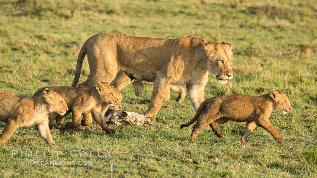 Lionness and cubs, Maasai Mara National Reserve, Kenya. Maasai Mara National Reserve, Kenya, Panthera leo, natural history stock photograph, photo id 29931