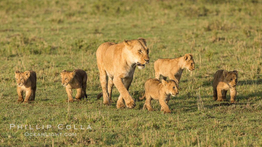 Lionness and cubs, Maasai Mara National Reserve, Kenya. Maasai Mara National Reserve, Kenya, Panthera leo, natural history stock photograph, photo id 29935