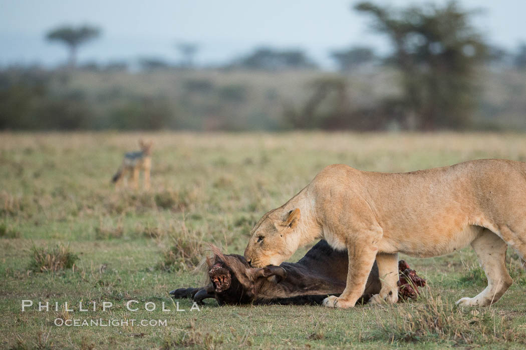Lionness with kill, Olare Orok Conservancy, Kenya. Olare Orok Conservancy, Kenya, Panthera leo, natural history stock photograph, photo id 30102