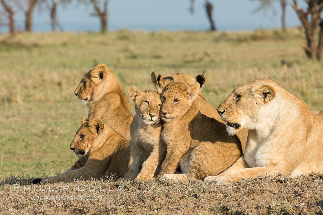 Image 30138, Lions, Olare Orok Conservancy, Kenya. Olare Orok Conservancy, Kenya, Panthera leo, Phillip Colla, all rights reserved worldwide. Keywords: africa, animalia, carnivora, cat, chordata, east african lion, family, felidae, group, kenya, lion, maasai lion, maasai mara, mammal, mammalia, natural, nature, olare orok conservancy, outdoors, outside, panthera, panthera leo, panthera leo nubica, pantherinae, predator, pride, safari, vertebrata, wild, wildlife.