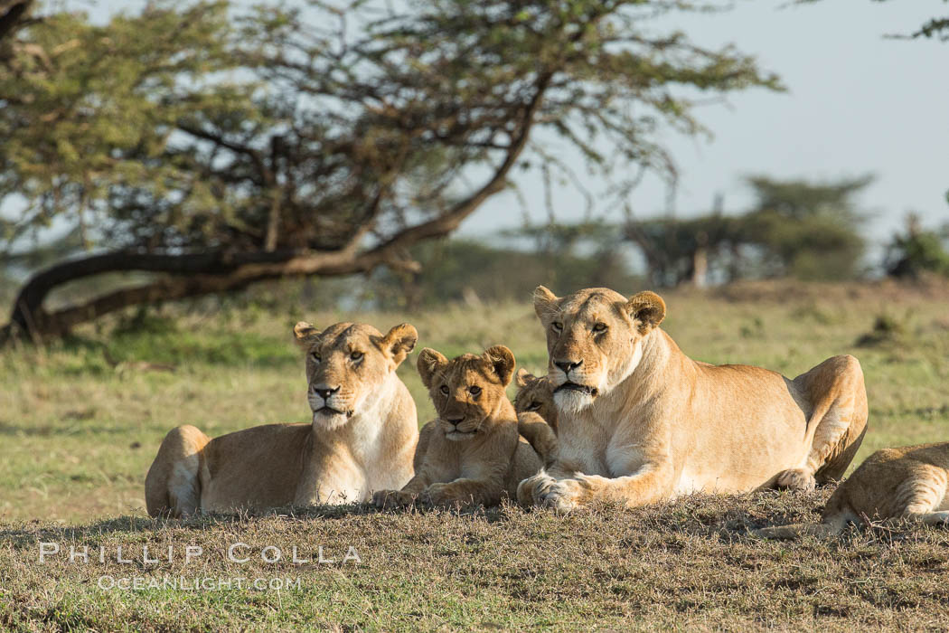 Lions, Olare Orok Conservancy, Kenya., Panthera leo, natural history stock photograph, photo id 30140
