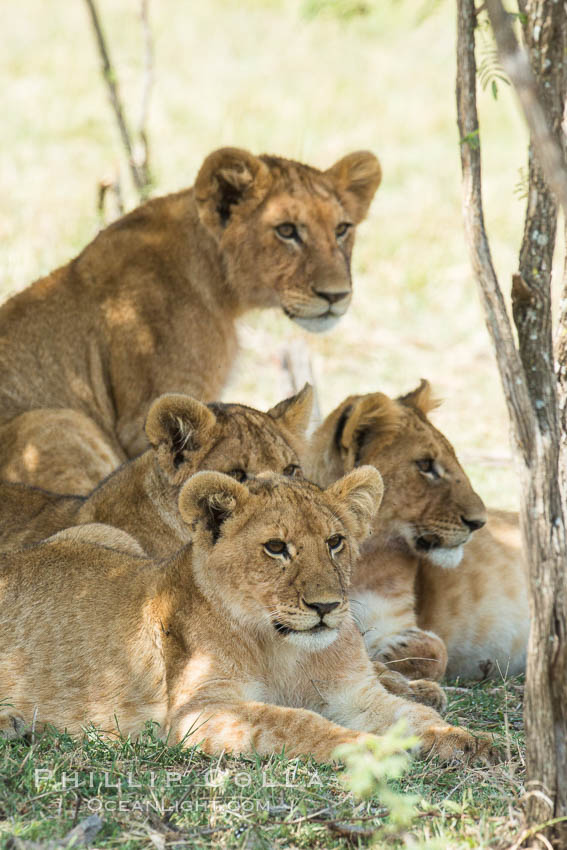 Lions resting in shade during midday heat, Olare Orok Conservancy, Kenya., Panthera leo, natural history stock photograph, photo id 30008