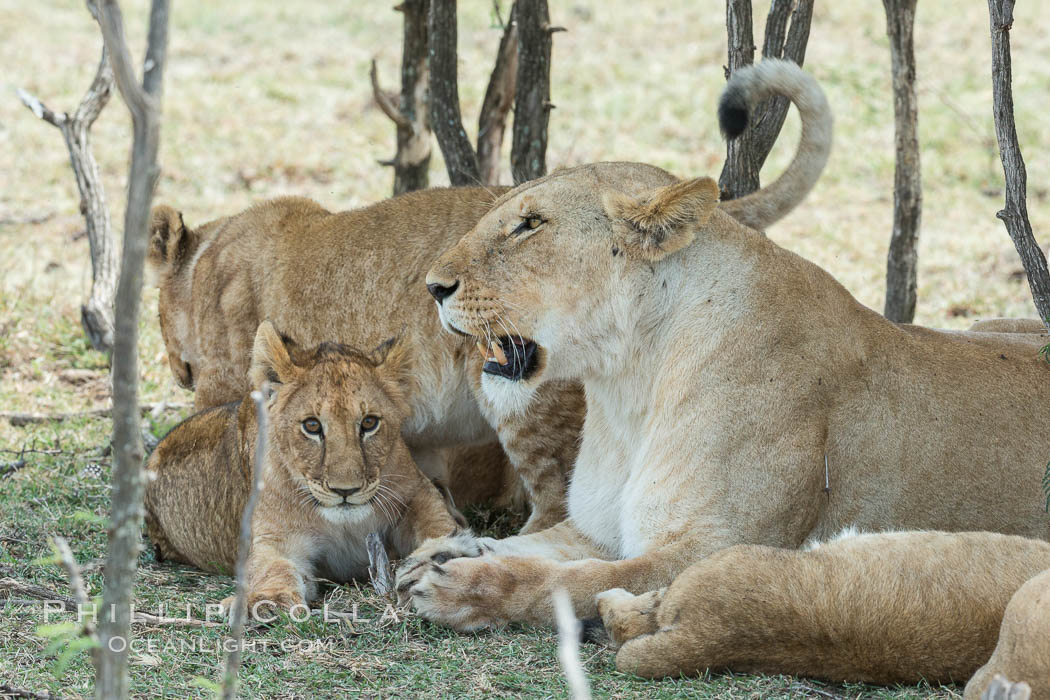 Lions resting in shade during midday heat, Olare Orok Conservancy, Kenya. Olare Orok Conservancy, Kenya, Panthera leo, natural history stock photograph, photo id 30012