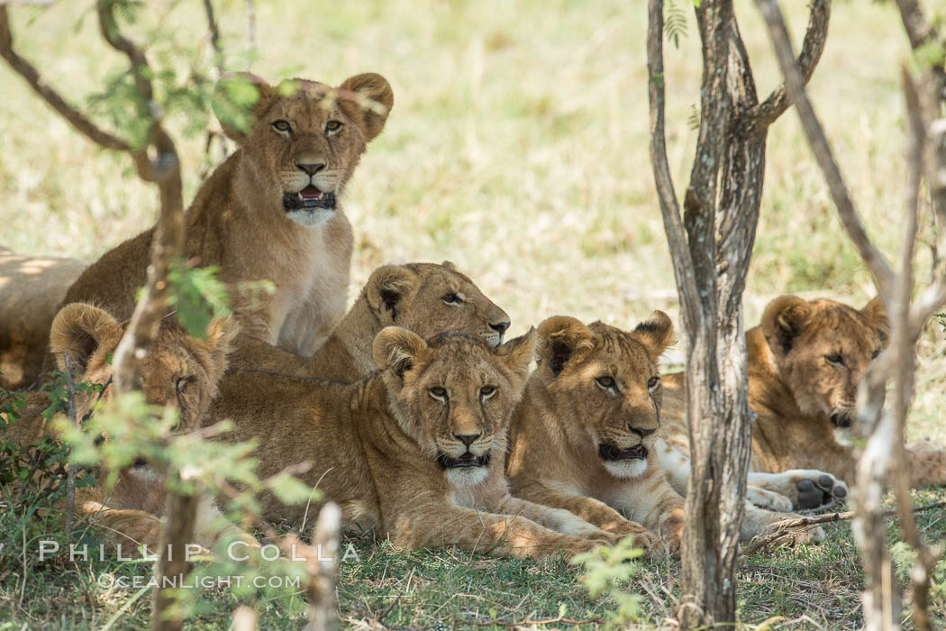 Lions resting in shade during midday heat, Olare Orok Conservancy, Kenya. Olare Orok Conservancy, Kenya, Panthera leo, natural history stock photograph, photo id 30009