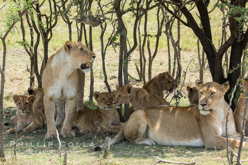 Lions resting in shade during midday heat, Olare Orok Conservancy, Kenya., Panthera leo, natural history stock photograph, photo id 30013