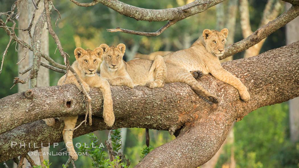 Image 29882, Lions in a tree, Maasai Mara National Reserve, Kenya. Maasai Mara National Reserve, Kenya, Panthera leo, Phillip Colla, all rights reserved worldwide. Keywords: africa, animalia, carnivora, cat, chordata, climb, east african lion, felidae, kenya, lion, maasai lion, maasai mara, maasai mara national reserve, mammal, mammalia, masai mara game reserve, natural, nature, outdoors, outside, panthera, panthera leo, panthera leo nubica, pantherinae, predator, pride, safari, tree, vertebrata, wild, wildlife.