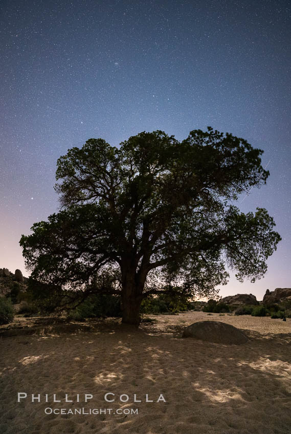 Live Oak and Stars at night, backlit by a full moon. Joshua Tree National Park, California, USA, natural history stock photograph, photo id 29186