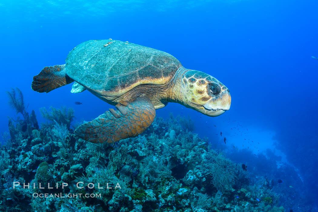 Loggerhead turtle, Caretta caretta, Grand Cayman Island. Grand Cayman, Cayman Islands, natural history stock photograph, photo id 32135