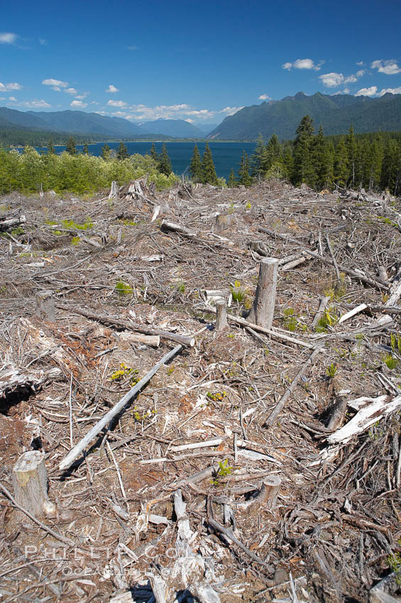 Logging companies have clear cut this forest near Lake Quinalt, leaving wreckage in their wake. Olympic National Park, Washington, USA, natural history stock photograph, photo id 13803