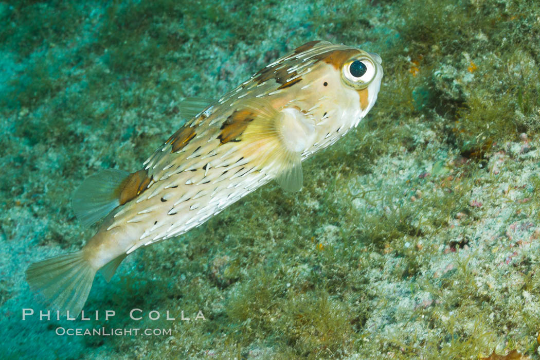 Long-spine porcupine fish, Sea of Cortez, Baja California, Mexico., Diodon holocanthus, natural history stock photograph, photo id 27483