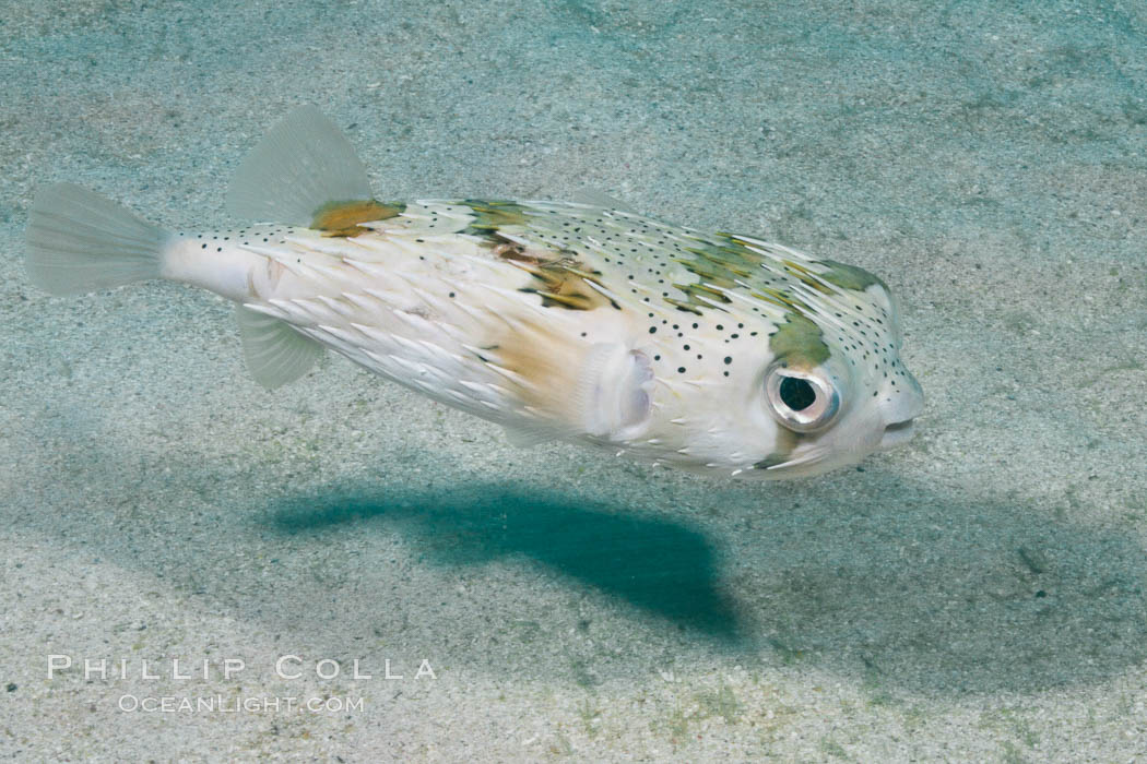 Long-spine porcupine fish, Sea of Cortez, Baja California, Mexico., Diodon holocanthus, natural history stock photograph, photo id 27481
