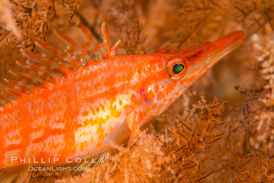 Longnose hawkfish on black coral, underwater, Sea of Cortez, Baja California. Mexico, Oxycirrhites typus, Antipatharia, natural history stock photograph, photo id 33612