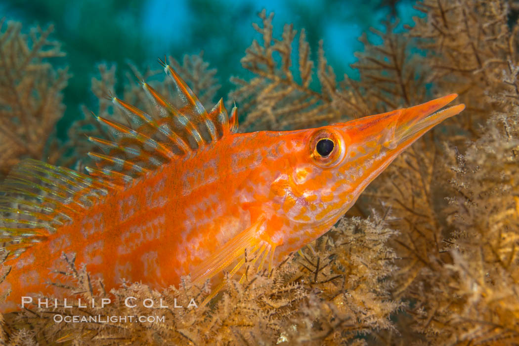 Longnose hawkfish on black coral, underwater, Sea of Cortez, Baja California, Oxycirrhites typus, Antipatharia