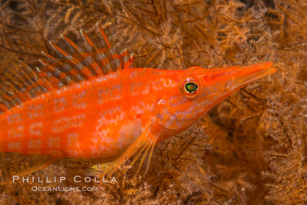 Longnose hawkfish on black coral, underwater, Sea of Cortez, Baja California. Baja California, Mexico, natural history stock photograph, photo id 33615