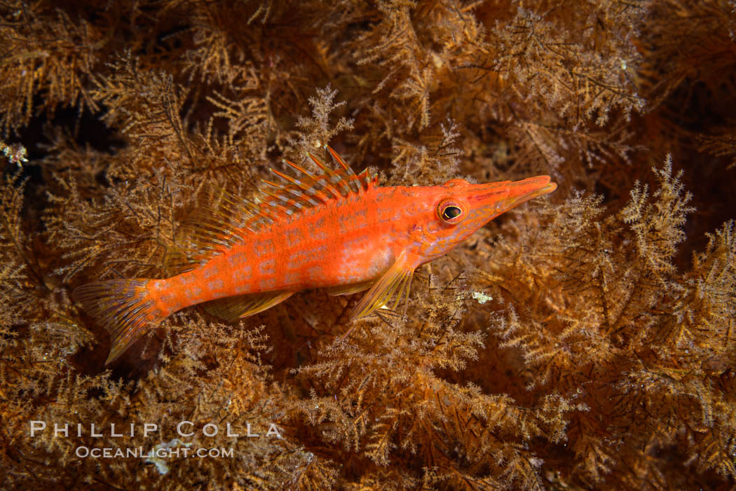 Image 33570, Longnose Hawkfish on Black Coral, Oxycirrhites typus. Isla San Diego, Baja California, Mexico, Phillip Colla, all rights reserved worldwide. Keywords: baja, baja california, baja california sur, gulf of california, isla san diego, longnose hawkfish, mexico, nature, ocean, oxycirrhites typus, sea of cortez, underwater.