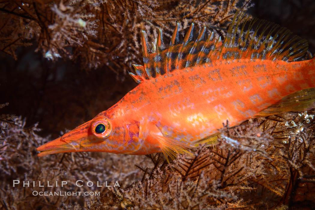 Longnose Hawkfish on Black Coral, Oxycirrhites typus. Isla San Diego, Baja California, Mexico, natural history stock photograph, photo id 33572