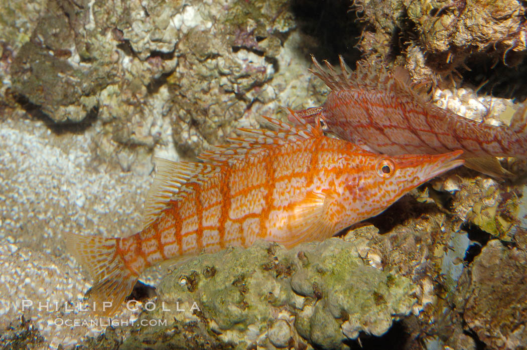 Image 08812, Longnose hawkfish., Oxycirrhites typus, Phillip Colla, all rights reserved worldwide. Keywords: animal, fish, hawkfish, indo-pacific, longnose hawkfish, longsnout hawkfish, marine fish, oxycirrhites typus, underwater.