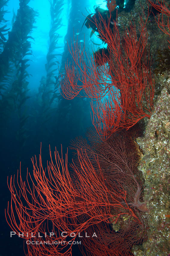 Red gorgonian on rocky reef, below kelp forest, underwater.  The red gorgonian is a filter-feeding temperate colonial species that lives on the rocky bottom at depths between 50 to 200 feet deep. Gorgonians are oriented at right angles to prevailing water currents to capture plankton drifting by. San Clemente Island, California, USA, Lophogorgia chilensis, Macrocystis pyrifera, natural history stock photograph, photo id 23466