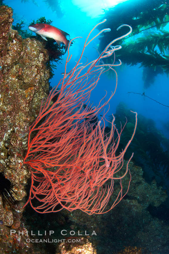 Image 23425, Red gorgonian on rocky reef, below kelp forest, underwater.  The red gorgonian is a filter-feeding temperate colonial species that lives on the rocky bottom at depths between 50 to 200 feet deep. Gorgonians are oriented at right angles to prevailing water currents to capture plankton drifting by. San Clemente Island, California, USA, Lophogorgia chilensis, Phillip Colla, all rights reserved worldwide. Keywords: animal, animalia, california, channel islands, coral, creature, environment, gorgonian, habitat, invertebrate, lophogorgia chilensis, marine, marine invertebrate, nature, ocean, oceans, offshore, outdoors, outside, pacific, pacific ocean, red gorgonian, reef, san clemente island, scene, scenery, scenic, sea, sea fan, seascape, soft coral, southern channel islands, submarine, underwater, underwater landscape, usa, wildlife.