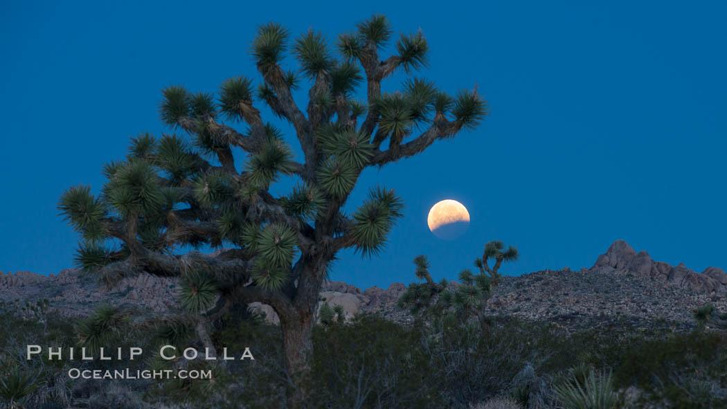 Lunar Eclipse Setting over Joshua Tree National Park, April 4 2015. Joshua Tree National Park, California, USA, natural history stock photograph, photo id 30720