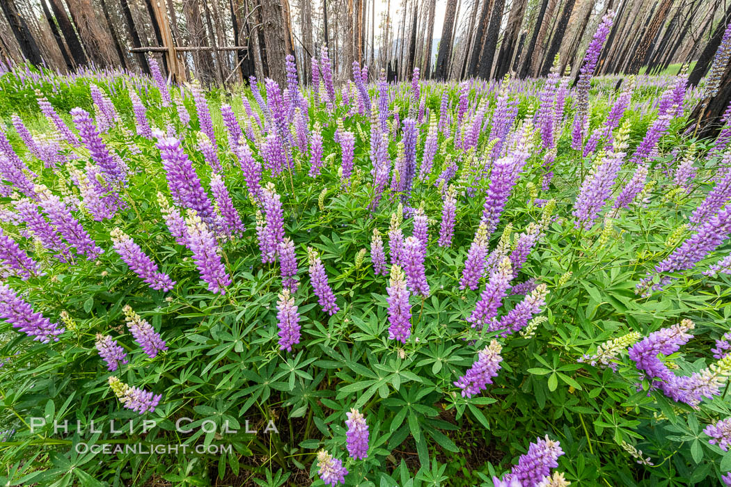 Lupine bloom in burned area after a forest fire, near Wawona, Yosemite National Park