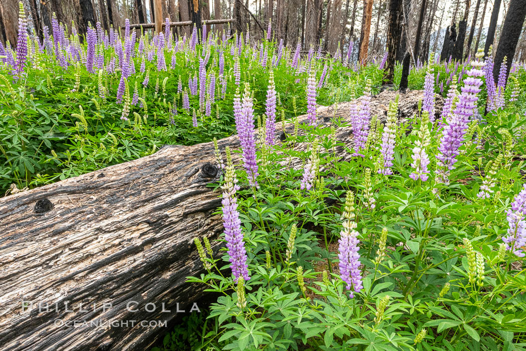 Lupine bloom in burned area after a forest fire, near Wawona, Yosemite National Park. California, USA, natural history stock photograph, photo id 36367