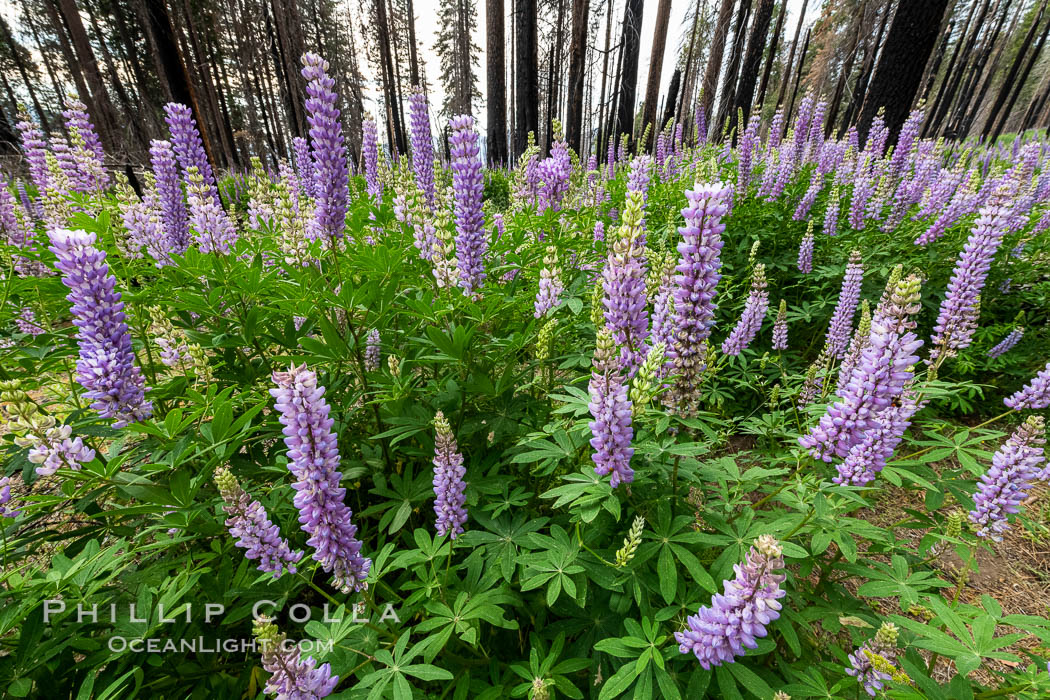 Lupine bloom in burned area after a forest fire, near Wawona, Yosemite National Park. California, USA, natural history stock photograph, photo id 36371
