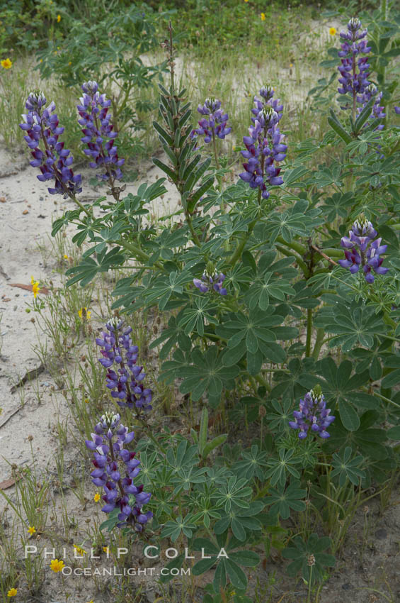 Lupine (species unidentified) blooms in spring. Rancho Santa Fe, California, USA, Lupinus, natural history stock photograph, photo id 11407