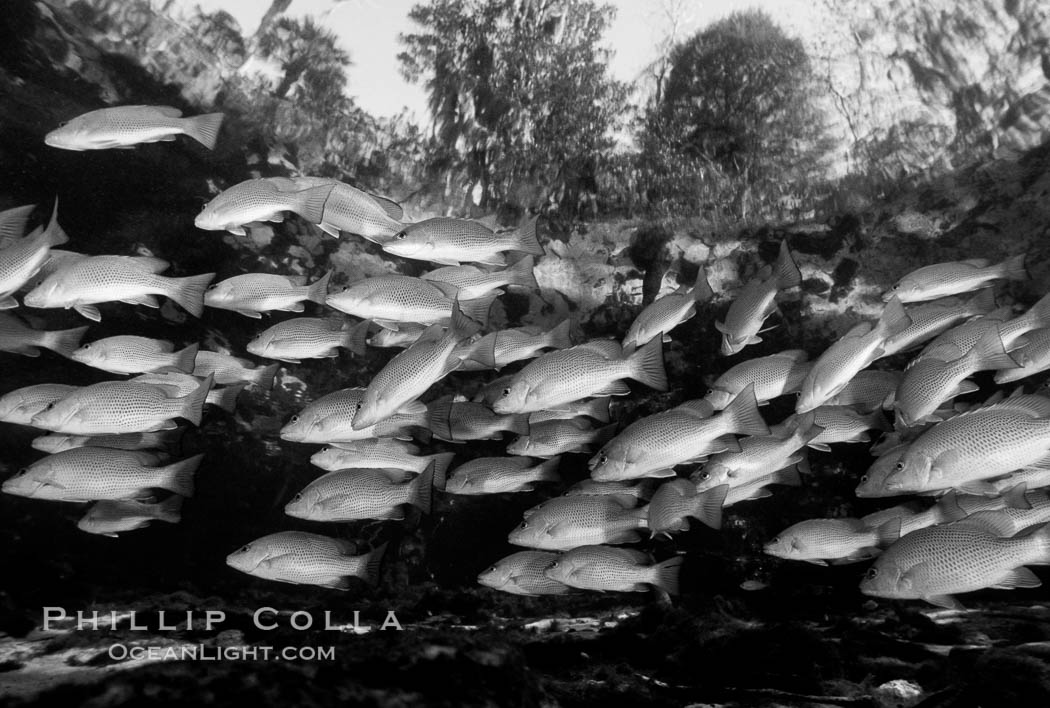 Mangrove snapper. Three Sisters Springs, Crystal River, Florida, USA, Lutjanus griseus, natural history stock photograph, photo id 06122