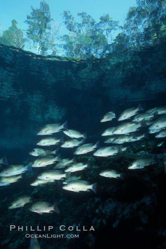 Mangrove snapper. Three Sisters Springs, Crystal River, Florida, USA, Lutjanus griseus, natural history stock photograph, photo id 02680