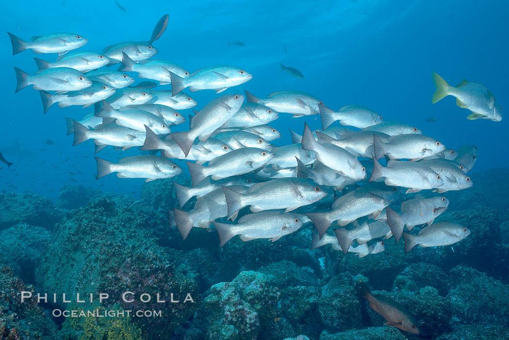 Unidentified snapper. Darwin Island, Galapagos Islands, Ecuador, Lutjanus, natural history stock photograph, photo id 16356