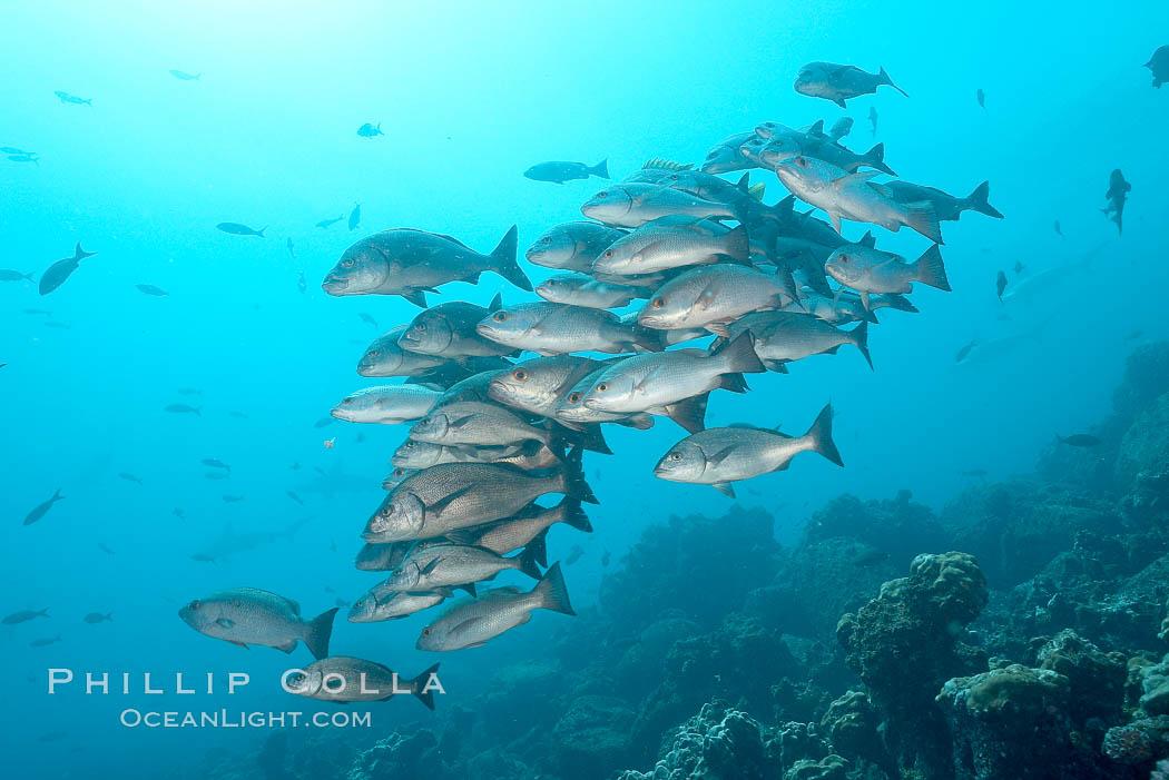 Unidentified snapper. Darwin Island, Galapagos Islands, Ecuador, Lutjanus, natural history stock photograph, photo id 16355
