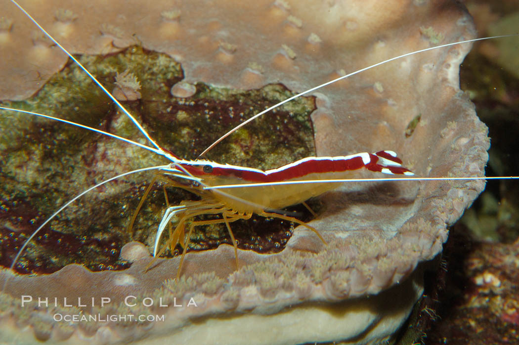 Image 09257, Cleaner shrimp., Lysmata amboinensis, Phillip Colla, all rights reserved worldwide. Keywords: animal, cleaner shrimp, crustacean, invertebrate, lysmata amboinensis, marine invertebrate, ocean, oceans, pacific, shrimp prawn, underwater, wildlife.