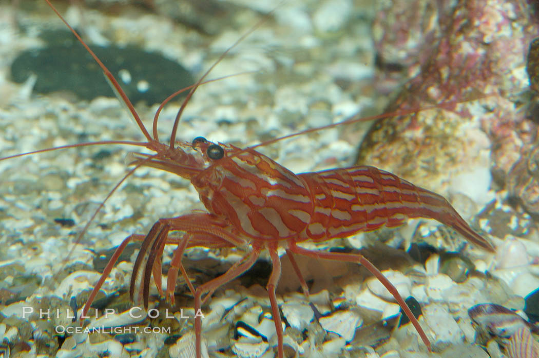Image 08641, Red rock shrimp., Lysmata californica, Phillip Colla, all rights reserved worldwide. Keywords: animal, creature, crustacean, invertebrate, lysmata californica, marine invertebrate, nature, ocean, oceans, pacific, red rock shrimp, shrimp prawn, underwater, wildlife.