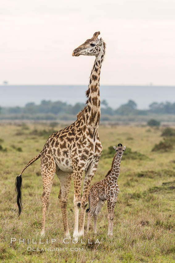 Image 29840, Maasai Giraffe, Maasai Mara National Reserve. Maasai Mara National Reserve, Kenya, Giraffa camelopardalis tippelskirchi