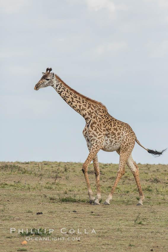 Image 29975, Maasai Giraffe, Olare Orok Conservancy. Olare Orok Conservancy, Kenya, Giraffa camelopardalis tippelskirchi, Phillip Colla, all rights reserved worldwide. Keywords: africa, animalia, artiodactyla, chordata, giraffa, giraffa camelopardalis, giraffa camelopardalis tippelskirchi, giraffidae, kenya, kilimanjaro giraffe, maasai giraffe, maasai mara, mammal, mammalia, natural, nature, olare orok conservancy, outdoors, outside, safari, wild, wildlife.