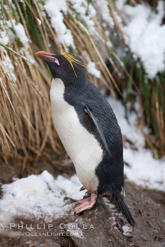 Macaroni penguin, amid tall tussock grass, Cooper Bay, South Georgia Island., Eudyptes chrysolophus, natural history stock photograph, photo id 24738