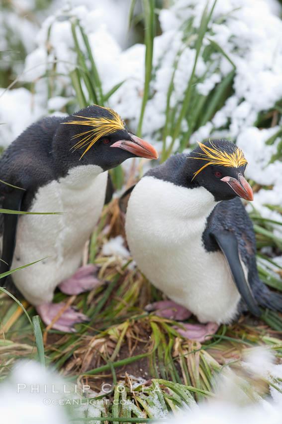 Macaroni penguin, amid tall tussock grass, Cooper Bay, South Georgia Island. Cooper Bay, South Georgia Island, Eudyptes chrysolophus, natural history stock photograph, photo id 24696