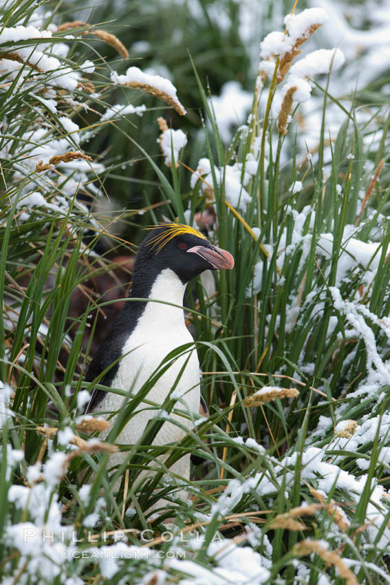 Macaroni penguin, amid tall tussock grass, Cooper Bay, South Georgia Island. Cooper Bay, South Georgia Island, Eudyptes chrysolophus, natural history stock photograph, photo id 24735