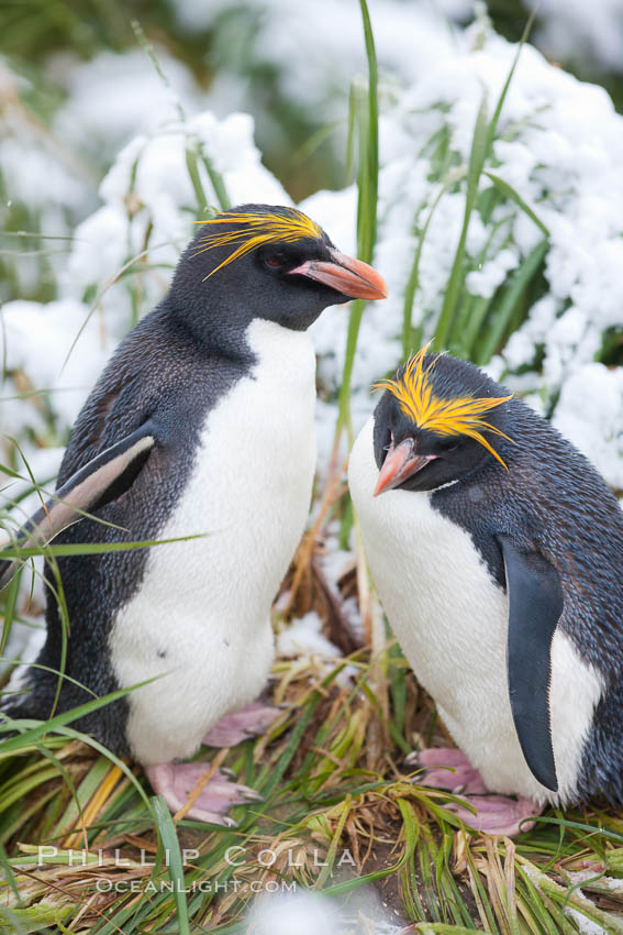 Macaroni penguin, amid tall tussock grass, Cooper Bay, South Georgia Island. Cooper Bay, South Georgia Island, Eudyptes chrysolophus, natural history stock photograph, photo id 24737